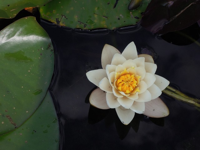 unsplash-waterlily-schicka