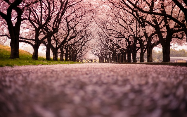 Cherry_Blossom_Flowers_Tree_Path_Trail_1920x1200